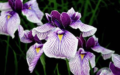 Japanese Water Iris In Purple 2714 H_2 Art Print