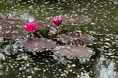 Photograph - Japanese Water Lilies by Joe Bonita