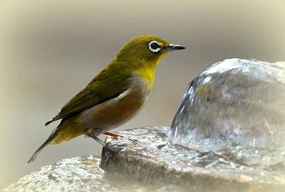Photograph - Japanese White Eye by Lori Seaman