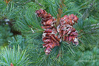 Photograph - Japanese White Pine Pinecones 2 by Sharon Talson