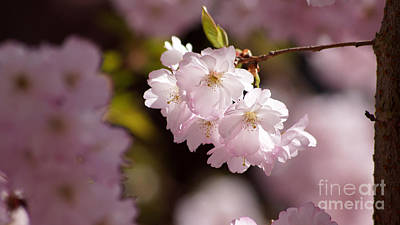 Photograph - Japanese Wild Cherry by Eva-Maria Di Bella