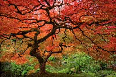 Red Leaf Photograph - Japenese Garden, Portland by Jesse Estes
