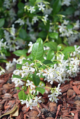 Photograph - Jasmine In Bloom by Aimee L Maher ALM GALLERY