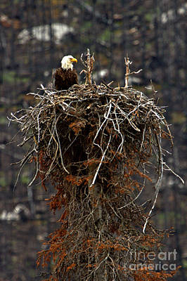 Photograph - Jasper Bald Eagle Nest by Adam Jewell