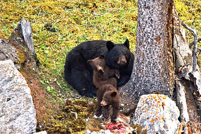 Photograph - Jasper Black Bear Dinner by Adam Jewell