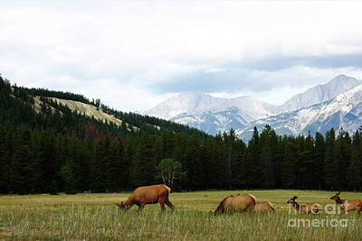 Photograph - Jasper Elk by Alyce Taylor
