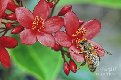 Photograph - Jatropha And Bee by Olga Hamilton