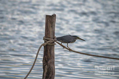 Photograph - Javan Pond Heron by Michelle Meenawong