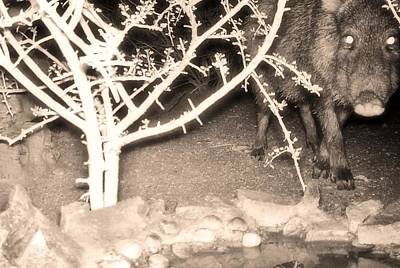 Photograph - Javelina - Collared Peccary At Night 3 by Judy Kennedy
