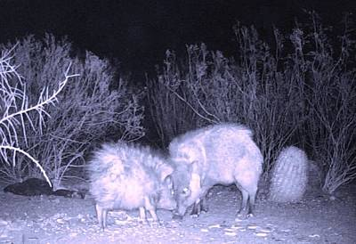Photograph - Javelina Head To Head by Judy Kennedy