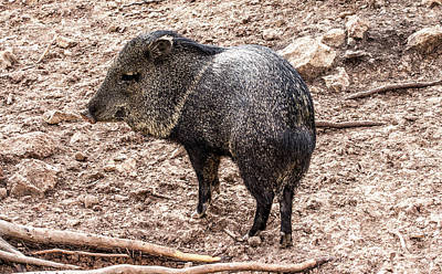 Photograph - Javelina by Renny Spencer
