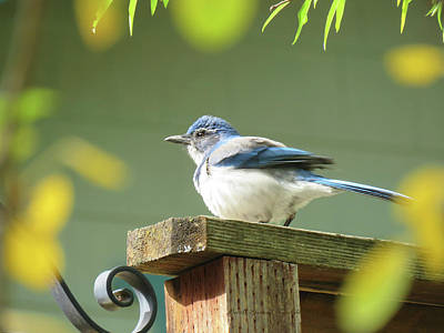 Photograph - Scrub Jay On A Fence - Images From The Fall Garden by Brooks Garten Hauschild