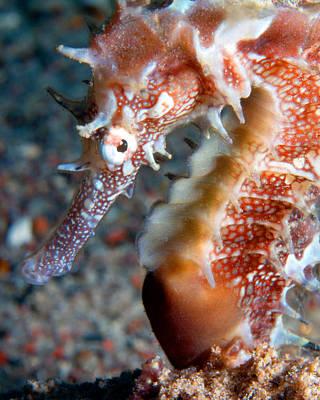 Photograph - Jayakar's Seahorse, Red Sea, Israel 2 by Pauline Walsh Jacobson