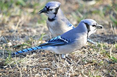 Photograph - Jays by Bonfire Photography