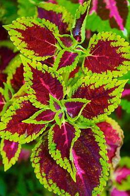 Photograph - Jazzy Coleus by Polly Castor