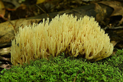 Photograph - Jellied False Coral Mushroom by Alan Lenk