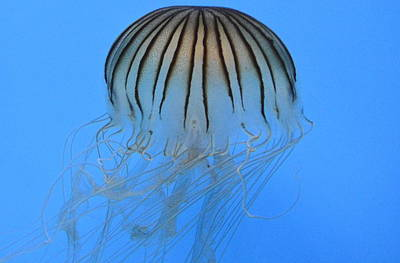 Photograph - Jellies 22 by Judith Morris