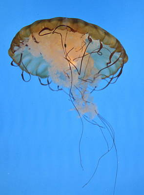 Photograph - Jellies 9 by Judith Morris