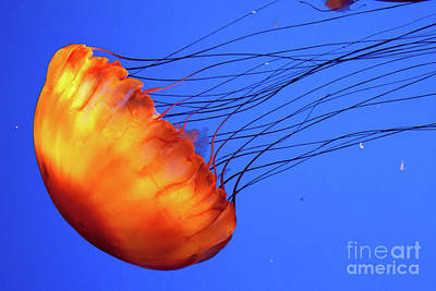 Photograph - Jelly Fish 2 by Susan Cliett
