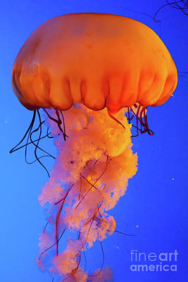 Photograph - Jelly Fish 4 by Susan Cliett