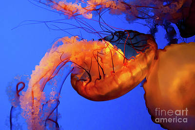 Photograph - Jelly Fish 5 by Susan Cliett