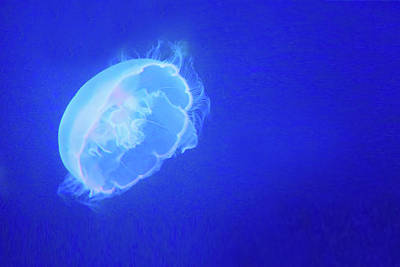 Photograph - Jelly - Moon Jellyfish by Nikolyn McDonald