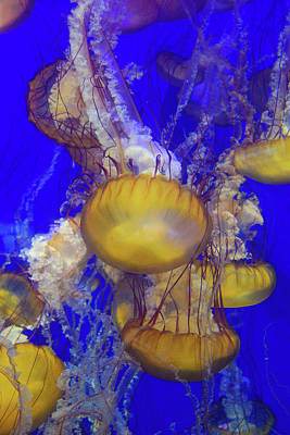 Photograph - Jellyfish 2 by Lynn Bauer