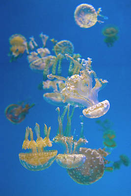 Photograph - Jellyfish 4 by Lynn Bauer