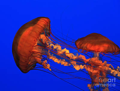 Photograph - Jellyfish by Jill Lang
