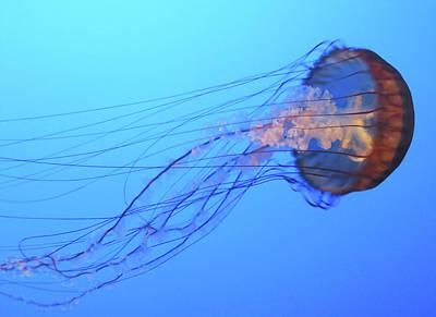 Photograph - Jellyfish by Joe  Palermo