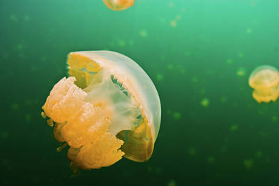 Sites Photograph - Jellyfish Lake Palau by Wendy A. Capili