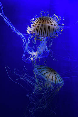Medusa Photograph - Jellyfish by Pati Photography