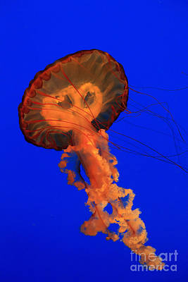 Photograph - Jellyfish Swimming by Jill Lang