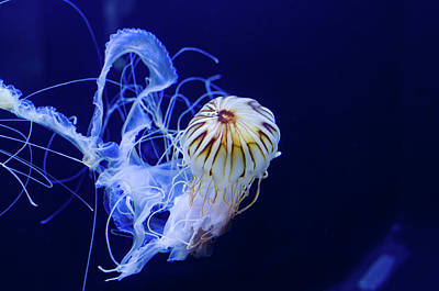 Photograph - Jellyfish Swimming by Tammy Ray