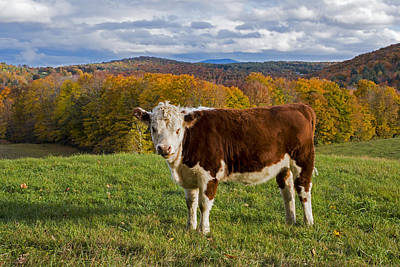 Photograph - Jenne Farm Brown Cow Reading Vermont Vt by Toby McGuire