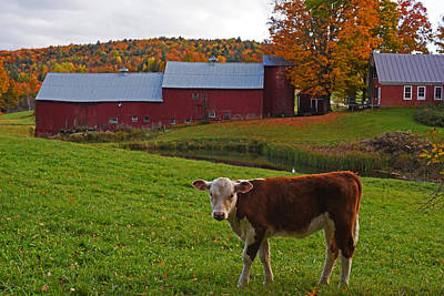 Photograph - Jenne Farm Calf Stare Down Reading Vt Vermont by Toby McGuire