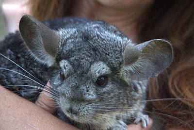Photograph - Jerry The Chinchilla by Jeanette C Landstrom