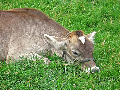 Photograph - Jersey Calf Nap by Ann Horn