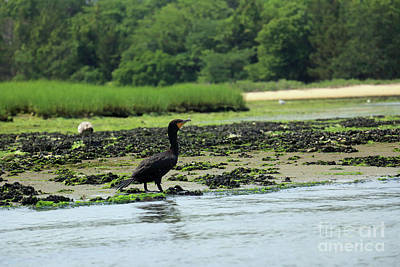 Photograph - Jersey Cormorant by Mary Haber