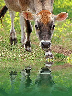 Soulful Eyes Photograph - Jersey Cow Reflections by Gill Billington