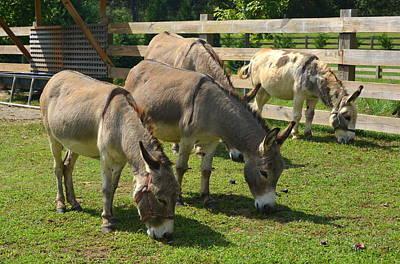 Photograph - Jerusalem Donkeys by Carla Parris