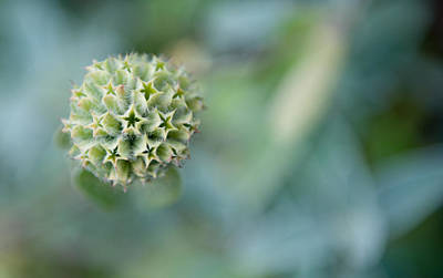 Photograph - Jerusalem Sage Seed Head by Helen Northcott