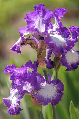 Photograph - Jesse's Song 1. The Beauty Of Irises by Jenny Rainbow