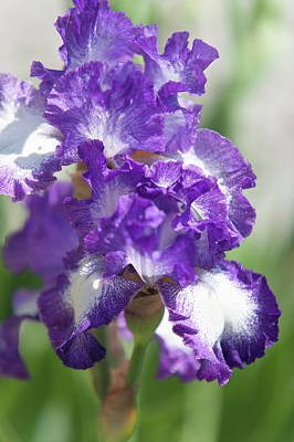 Photograph - Jesse's Song. The Beauty Of Irises by Jenny Rainbow