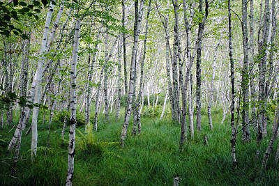 Photograph - Jesup Path Birches by Steven Scott