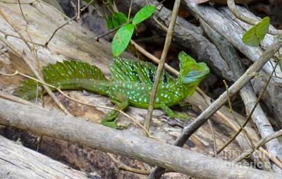 Costarica Photograph - Jesus Christ Lizard by Debbi Granruth