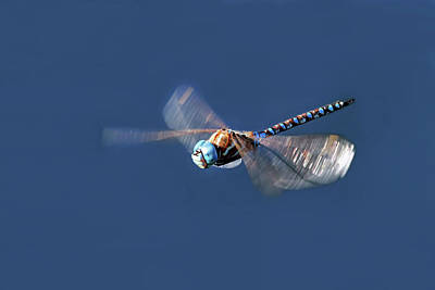 Dragonfly Photograph - Jet Blue by Donna Kennedy