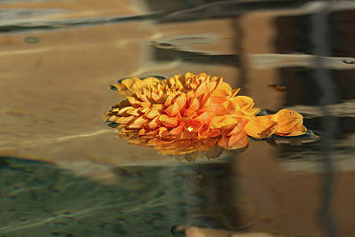 Photograph - Jewel Drops - Orange Chrysanthemum Bloom Floating In A Fountain by Georgia Mizuleva