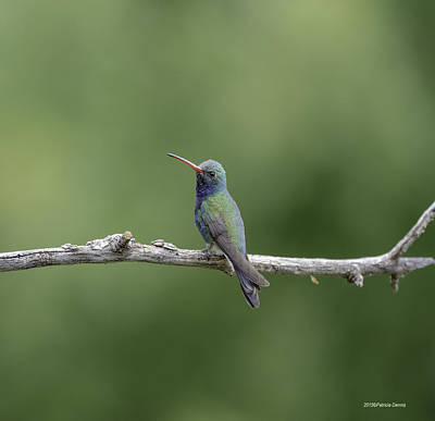 Broadbilled Hummingbirds Photograph - Jewel Of The Sky by Patricia Dennis