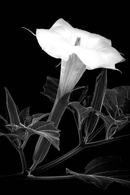Photograph - Jimson Bloom by Rick Strobaugh